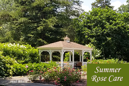shauna moore supervisor of horticulture somerset county nj colonial park and curator of rose gardens summer rose csre  - Read the story